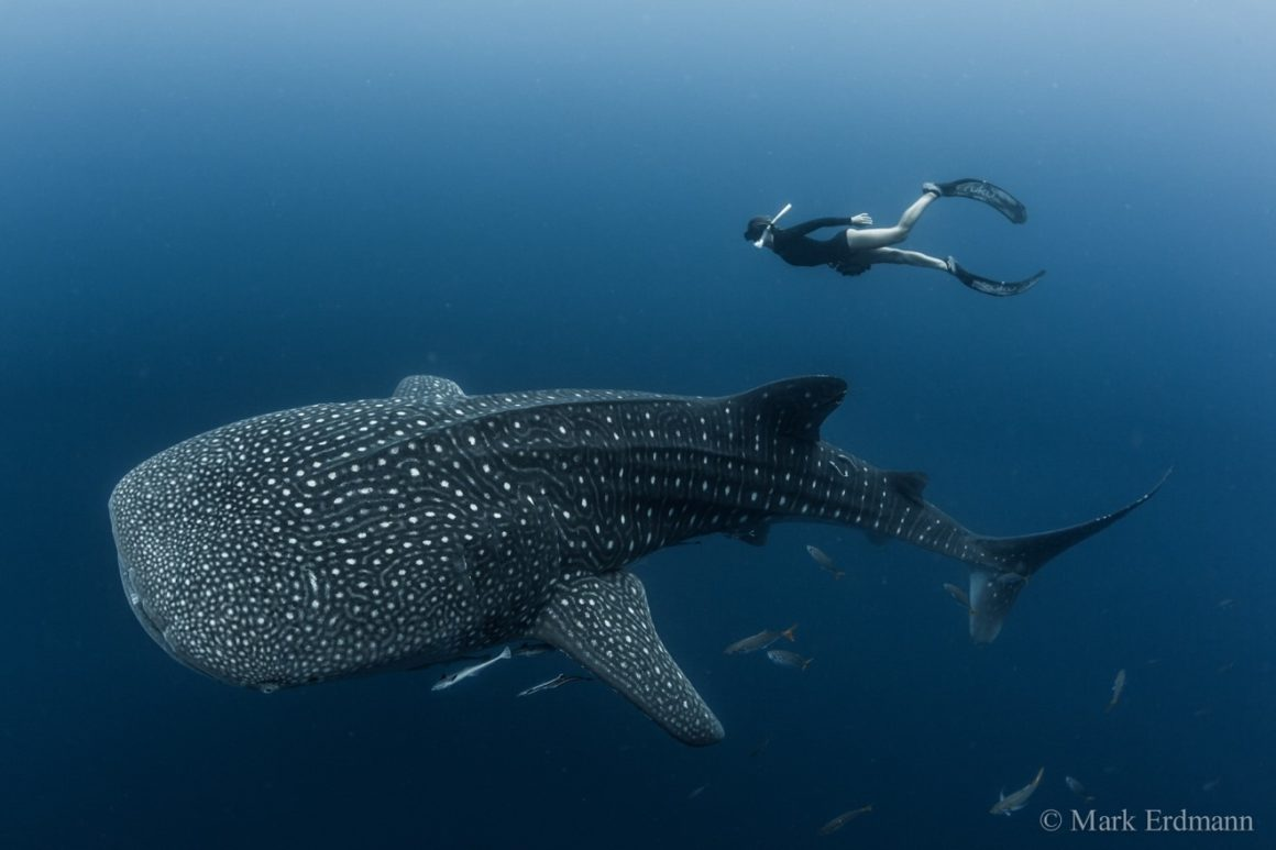 CI-Whale-Shark-with-Snorkeller