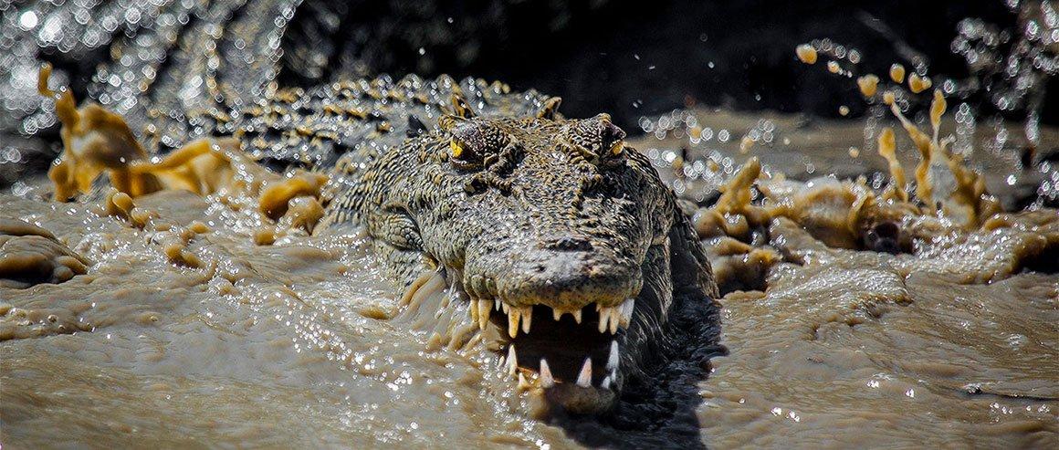 Scariest Kimberley Saltwater Crocodile Oli Oldroyd