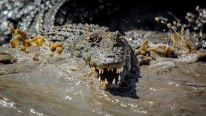 Kimberley Saltwater Crocodile - Oli Oldroyd