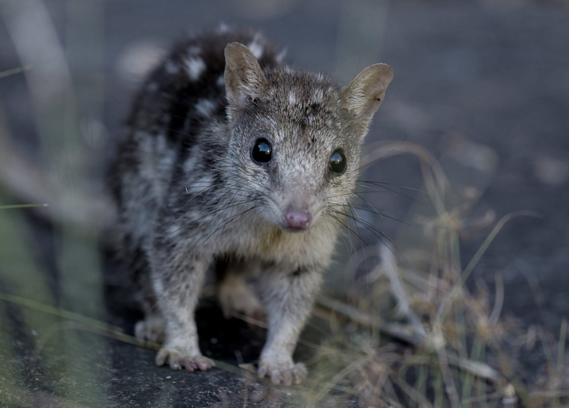 The Northern Quoll