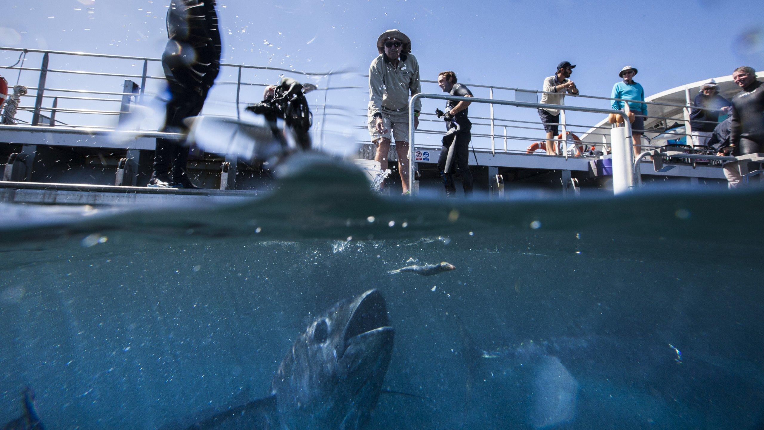 Feeding Tuna Fish