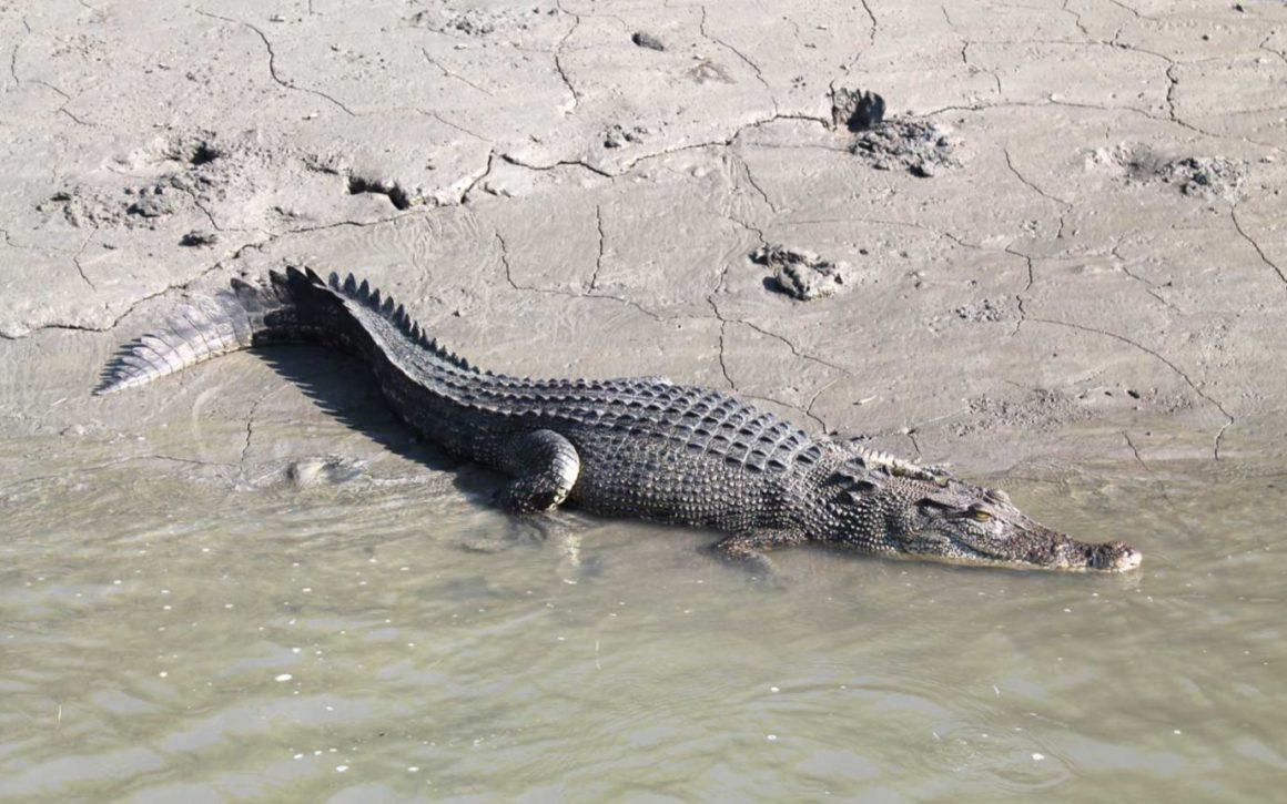 crocodile - Kimberley