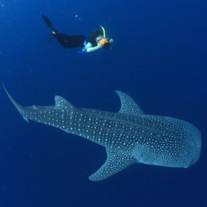 The Whale Sharks of Cenderawasih Bay