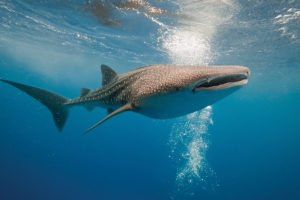 Whale Shark Cenderawasih Bay Cruise