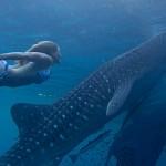 Whale Shark Snorkeling Cenderawasih Bay