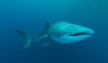 Whaleshark Ron